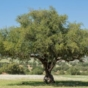 What are the Health Benefits of Eating Argan Oil?