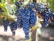 Resveratrol Grapes